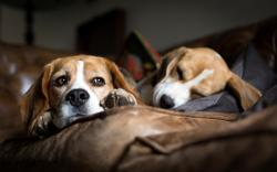 Dogs Breed Beagle Sofa