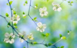 Free Dogwood Flowers Wallpaper
