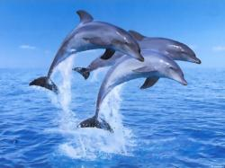 Dolphin jumping HD Wallpaper ...