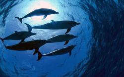 Dolphin Swarm