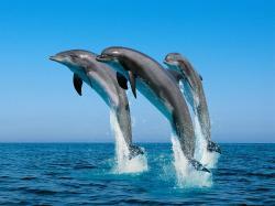 ... bottlenose-dolphins
