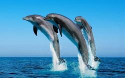 HD Wallpaper | Background ID:249578. 2560x1600 Animal Dolphin