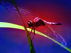 Red Dasher Dragonfly wallpaper