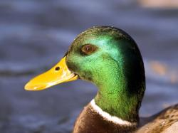 http://www.bruteforcegames.com/images/reviews/Gravity_Duck/colorful-duck.jpg