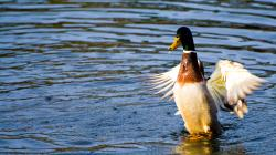 Animal - Mallard Duck Wallpaper