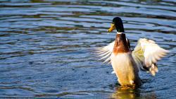 Animal - Mallard Duck Wallpaper
