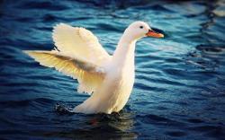 Duck White Lake