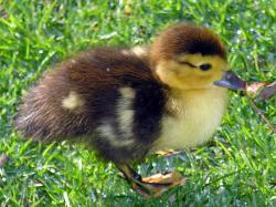 A Muscovy duck duckling.