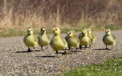 Duckling march