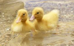 Adorable Duckling Wallpaper; Duckling; Duckling; Duckling; Duckling; Duckling Wallpaper
