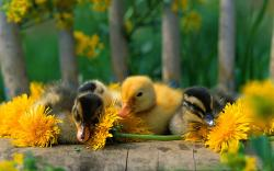Adorable Duckling Wallpaper; Cute Duckling Wallpaper ...