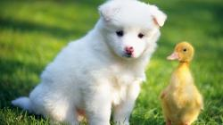 ... Puppy and a duckling for 1920x1080