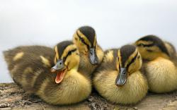 ... Duckling Wallpaper ...