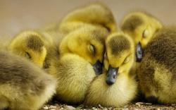 Ducklings · Ducklings