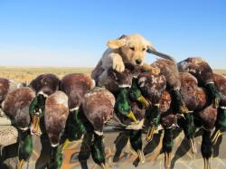 Ducks; Ducks Unlimited; Ducks Unlimited Wallpaper ...