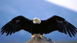 Wing span bald eagle normal bird