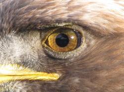 File:Golden Eagle eye.jpg