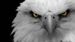 Description: The Wallpaper above is Eagle eyes Wallpaper in Resolution 1600x900. Choose your Resolution and Download Eagle eyes Wallpaper