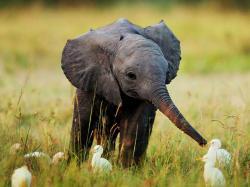 A baby elephant feeding egrets ...
