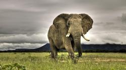 Elephant Wallpaper 11