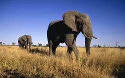 animals elephants nature
