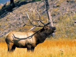 Elk 39372