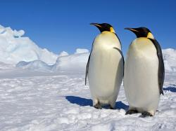 Emperor Penguins, Weddell Sea, Antarctica