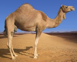 Camel ...