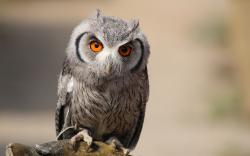Description: The Wallpaper above is Eurasian scops owl Wallpaper in Resolution 1920x1200. Choose your Resolution and Download Eurasian scops owl Wallpaper
