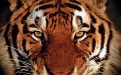 Tiger Face 30