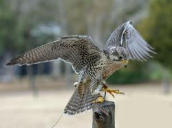 Prairie falcon - gyrfalcon hybrid at Avian Conservation Center, near Charleston, South Carolina, USA