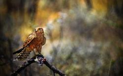 3840x2400 Wallpaper falcon, bird, hawk, prey, predator