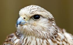HD Wallpaper   Background ID:329908. 1680x1050 Animal Falcon