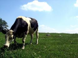 Related For Fantastic Cattle Wallpaper. Cattle