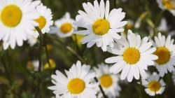Fantastic Daisies Wallpaper
