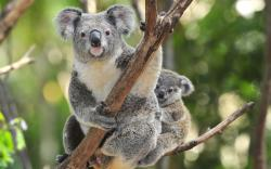 Fantastic Koala Wallpaper
