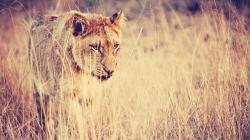 Fantastic Lioness Wallpaper