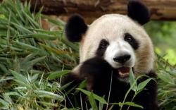 Fantastic Panda Wallpaper