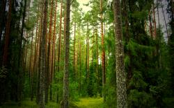 Fantastic Pine Forest Wallpaper