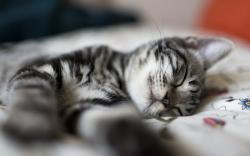 Fantastic Sleeping Cat Wallpaper