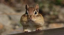 Fat Chipmunk Wallpaper