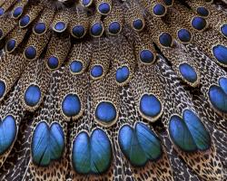 peacock feather top hd wide wallpaper