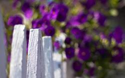 Fence White Flowers Purple Blur