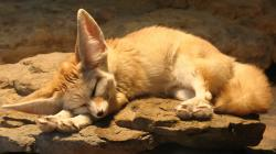 Fennec Fox Hd Wallpaper 1920x1080px