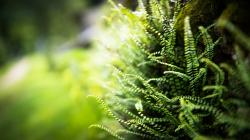 Fern Wallpaper HD