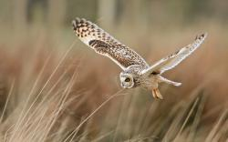 Field Bird Owl Flying