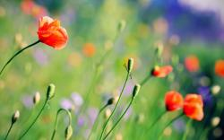 Depth of field flowers nature poppies 2560x1600