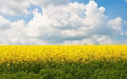 flowers fields yellow field yellow flowers wallpaper background