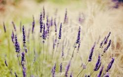Field Grass Flowers Lavender
