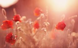 Field Poppies Summer Photo